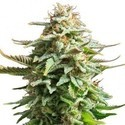 Pineapple Kush (Zativo Seeds) feminized