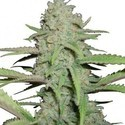 Sweet Bubble (Zativo Seeds) feminisiert