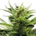 Sour Diesel  (Zativo Seeds)