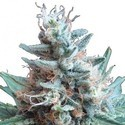 Sweet Candy (Zativo Seeds) feminized