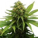 Critical (Zativo Seeds) feminized
