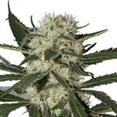 Northern Lights  (Zativo Seeds)