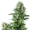 White Widow (Zativo Seeds) feminized