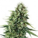 Chocolate Haze (Zativo Seeds) Feminized