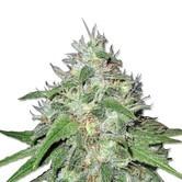 Amnesia Haze (Sensation Seeds) feminized