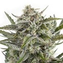 OG Kush (Sensation Seeds) feminized