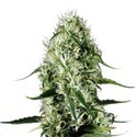 Super Silver Haze (Sensation Seeds) feminisiert