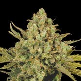 CBD-enriched Warlock (Serious Seeds) feminized