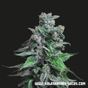 Moscow Blueberry feminized (Kalashnikov Seeds)