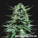 Northern Russian Auto (Kalashnikov Seeds) feminized