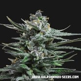 Blue Acid Auto (Kalashnikov Seeds) feminized