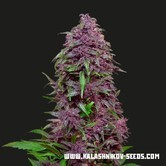 Purple Mazar Auto (Kalashnikov Seeds) feminized