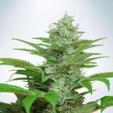 Auto CBD Star (Ministry of Cannabis) feminized