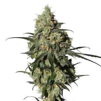 Orinoco (OR-1) (Medical Marijuana Genetics) feminized