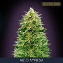 Auto Amnesia (Advanced Seeds) feminized