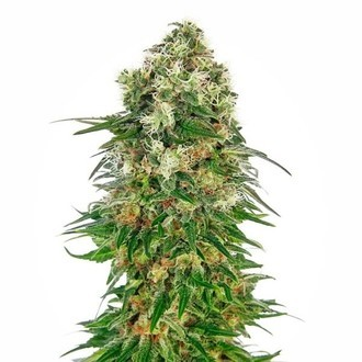Shiva Skunk Automatic (Sensi Seeds) feminized