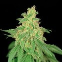 CBD René (House Of The Great Gardener) feminized