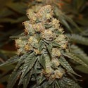 Gamma Berry (Dark Horse Genetics) Regular