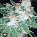 Sleestack (DNA Genetics) feminized