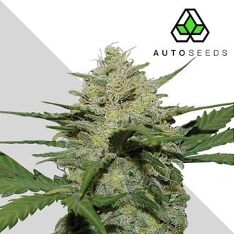 Girl Scout Cookies (Auto Seeds) feminized