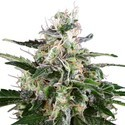White Skunk Automatic (White Label) feminized