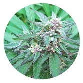 Blueberry Crystal (Top Tao Seeds) regular
