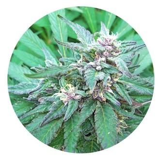Blueberry Crystal (Top Tao Seeds) Regular