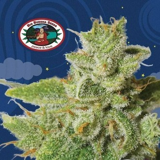 Cherry Moon Pie (Big Buddha Seeds) Feminized