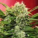 Chronic Ryder (Joint Doctor) feminized