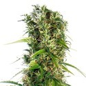 Michka (Sensi Seeds) Regular/Feminized