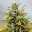 Easy Ryder (Joint Doctor) feminized
