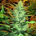 Lowryder 2 (Joint Doctor) feminized