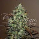 Eleven Roses (Delicious Seeds) feminized