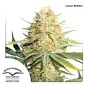 Lemon Zkittle (Dutch Passion) feminized