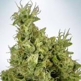 Mandarin Haze (Ministry of Cannabis) feminized
