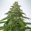 Auto Mandarin Haze (Ministry Of Cannabis) Feminized