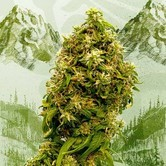 Swiss Dream CBD (Kannabia) Feminized