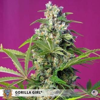 Gorilla Girl (Sweet Seeds) Feminized