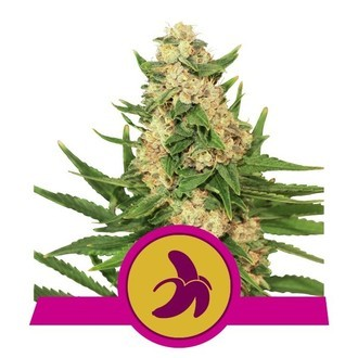 Fat Banana (Royal Queen Seeds) Gefeminiseerd