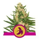 Fat Banana (Royal Queen Seeds) feminized