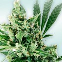 Atlant CBD (VIP Seeds) Feminized