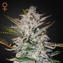 Holy Punch (Green House Seeds) Feminized