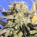 Grandaddy Black (Original Sensible) feminized