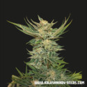 Vodka Lemon (Kalashnikov Seeds) Feminized