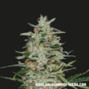 White Russian OG (Kalashnikov Seeds) Feminized