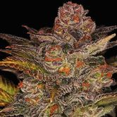 Glueberry Auto (Expert Seeds) Feminized