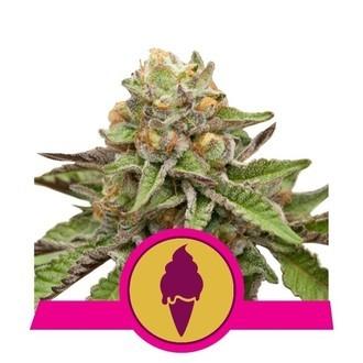 Green Gelato (Royal Queen Seeds) Feminized