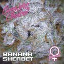 Banana Sherbet (Growers Choice) Feminized