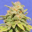 White Crystal Meth Auto (Original Sensible) feminized