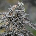 Black D.O.G. (Humboldt Seeds) Feminized